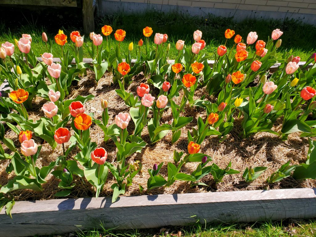 A raised garden bed filled with orange, pink and yellow tulips.